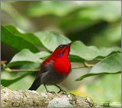Crimson Sunbird (Luis Foo) Tags: crimson sunbird pentax k70 sigma 150500mm baihualing wildlife bird