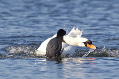 "Attack !!! (""Clare"") Tags: coot muteswan bird nature wildlife atracygnus olor cygnusolor fulicaatra"