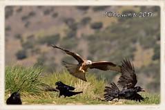 MILANO REAL (Milvus milvus) - CUERVO (Corvus corax) (JORGE AMAYA BUSTAMANTE - JAKKEMATE) Tags: jakkemate jorge amaya bustamante nikon d500 sigma 150500 milano real milvus cuervo corvus corax