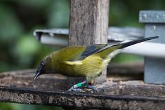 """Korimako (Brendon & Keryn) Tags: zealandia autumn newzealand wellington northisland bellbird korimako """"anthornis melanura"""""""