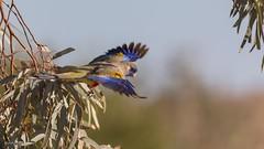 Blue Bonnet parrot (Mykel46) Tags: blue bonnet parrot birds green nature bif canon flight flying outside outdoors