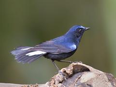 White-tailed Robin _ Bukit Fraser ☺ (mahi mahi 163) Tags: robin flycatcher 600mm malaysia