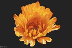 Soleil Printanier (Photography Christophe.H) Tags: orange fleur flower art nature soleil sun printemps reflex canon 700d 1855mm 1855