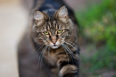 Prowl (Keith Midson) Tags: cat canon sigma 85mm f14 outside