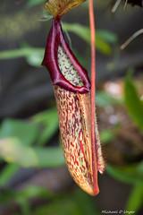 Monkey Cup.jpg (scorpio71gr) Tags: bokeh carnivorous carnivorousplant da5514 frederickmeijergardens monkeycup pentax plant