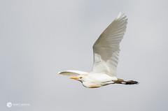 Cattle Egret_JO0350 (sugarzebra) Tags: cattle cattleegret egret cow wadingbird bird florida joeoverstreet canon 1dx inflight bif flight white