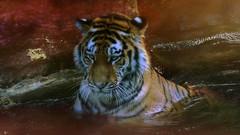 Volodya (dieter-und-marion sempf) Tags: tiger raubtier säugetier säugetiere natur raubtiere amurtiger sibirischertiger tiergartennürnberg