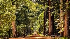 big trees (David Ruiz Luna) Tags: forest green verde vegetación vegetation asombrosa astonishing angkorstemples cambodia camboya siemreap siemriep angkorthom templosdeangkor angkortemples asia viaje trip travel southeastasia suresteasiático indochinapeninsula penínsuladeindochina turismo tourist touring touraroundtheworld tourism