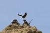 Brown-backed mockingbird (Mimus dorsalis)
