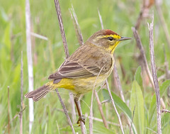 Palm Warbler (tresed47) Tags: 2017 201704apr 20170415extonparkbirds birds canon7d chestercounty content extonpark folder palmwarbler pennsylvania peterscamera petersphotos places takenby us warbler ngc