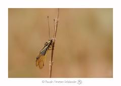 Ascalaphe ambré ♂ - Libelloides longicornis (Linnaeus, 1764) (Pascale Ménétrier Delalandre) Tags: ascalapheambré libelloideslongicornislinnaeus1764 insecte neuroptera faune gard france canoneos70d canonef100mmf28lmacroisusm pascaleménétrierdelalandre ngg