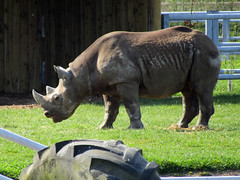 Black Rhinoceros, Yorkshire Wildlife Park 2017 (Dave_Johnson) Tags: yorkshirewildlifepark ywp wildlifepark park zoo animal animals southyorkshire yorkshire blackrhinoceros blackrhino rhinoceros rhino rhinos