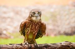Barking Owl (ianbrown173) Tags: australianbirds barkingowl darwin