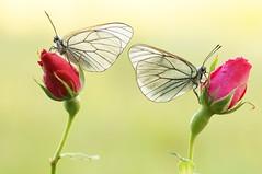Butterflies loves roses... (Zbyszek Walkiewicz) Tags: sony closeup butterflies butterfly ngc npc