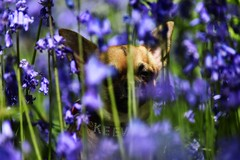 little in the bluebells (lisheeny) Tags: bluebell bluebells chihuahua dog pet canine