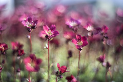 Color Splash (michel1276) Tags: meyergörlitz meyeroptik meyer primoplan1958 vintagelens manualfocus spring frühling flower flowers flora bokeh bokehlicious blumen pflanzen