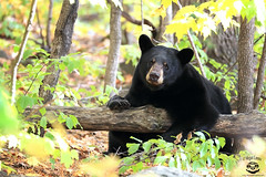 Lazy Day (Megan Lorenz) Tags: blackbear bear animal mammal female sow nature wild wildlife wildanimals ontario canada mlorenz meganlorenz