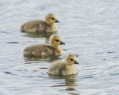 Canada Goslings (Tris Enticknap) Tags: uk dorset nikond750 canadagoose nikkor300mmf4epfedvrlens brantacanadensis ferndown
