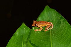 BOR_0850 (lucvanderbiest) Tags: harlequinflyingtreefrogflyingfrog rhacophoruspardalis borneo maleisië sabah danumvalleywildlifereserve