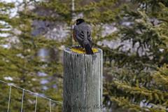 Robin on a fence post - HFF (LavenderMillie) Tags: robin bird spring fence alberta fauna fencepost outdoors wildlife castlemountain
