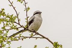 DSC2686 Great Grey Shrike.. (jefflack Wildlife&Nature) Tags: greatgreyshrike shrike shrikes birds avian animal wildlife wildbirds woodlands heathland moorland countryside nature sunrays5 coth5 ngc