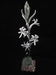 Haworthia herbacea, Brewelskloof, NE Worcester in bloom- en floración