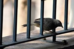 White Headed Babbler (Balaji Bharadwaj) Tags: birds pondicherry prinia wren warbler grey brown eyes