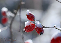 100103 mfenN 170517 © Théthi (thethi (pls, read my first comment, tks a lot)) Tags: nature macro baie églantier rouge neige glace cristaux janvier froid namur wallonie belgique belgium ruby15 setnamurcity setvegetaux fact90 halloffame faves102 setjanvier