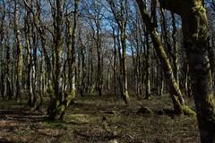 Prom'nons nous dans les bois... (Explored 2017-05-18) (Gisou68Fr) Tags: schlucht coldelaschlucht alsace france montagne woods forêt hêtres beech hêtraie beechforest 68 hautrhin