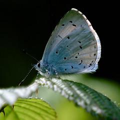 Holly Blue.... (klythawk) Tags: hollyblue celastrinaargiolus butterfly tiny spring nature sunlight leaves wildlife blue green black white grey olympus em1mkll omd 100400mm panasonic attenboroughnaturereserve wildlifetrust nottingham klythawk