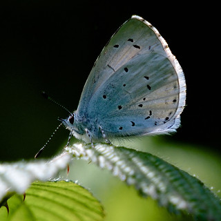 Holly Blue....
