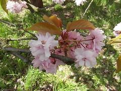 Hanami (gerlindes) Tags: teltow potsdammittelmark landkreisteltowfläming kirschblütenfest japanischeskirschblütenfest hanami kirschbäume zierkirschen kirschblüteninvollerpracht