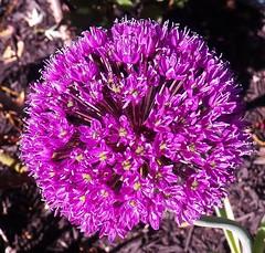 "they call me""Mr."" Alium (MissyPenny) Tags: allium flower southeasternpa spring bristolpennsylvania usa garden pdlaich macro"