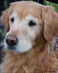 Young at Heart (John Neziol) Tags: kjphotography goldenretriever fieldretriever pointynoseddogs interestingdogposes portrait pet dog dognose animal outdoor brantford nikon nikoncamera nikondslr