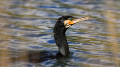 Cormorant  ( phalacrocorax carbo ) - Out of the depths !! (Clive Brown 72) Tags: cormorant seabird fishing hunting submerged deep water bird wales coastal phalacrocoraxcarbo
