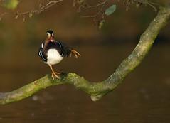 Mandarijneend (Robby Roos) Tags: mandarijneend mandarin duck