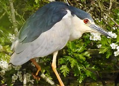 Black-crowned Night Heron (Nycticorax nycticorax) (Brian Carruthers-Dublin-Eire) Tags: ciconiiformes ardeidae nycticorax blackcrowned nightheron bihoreau gris nachtreiher martinete comun kwak nycticoraxnycticorax black crowned night heron martinetecomun bird animalia animal nature birdwatchireland birdwatch