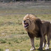 The Lions of the Serengeti