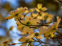 Dogwood Dell (T i s d a l e) Tags: tisdale dogwooddell wilddogwoods flowers blooms spring march 2017 easternnc