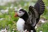 Puffin (Shane Jones) Tags: puffin bird seabird nature wildlife skomer nikon d500 200400vr tc14eii
