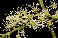 Mischarytera lautereriana (andreas lambrianides) Tags: mischaryteralautereriana sapindaceae nepheliumlautererianum aryteralautereriana corduroytamarind corduroy rosetamarind tamarind australianflora australianrainforestplants australiannativeplants australianrainforests mischarytera australianrainforestflowers arfflowers arfp qrfp whitearfflowers subtropicalarf