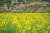 菜の花と花桃のコラボ (kzy619) Tags: 下伊那郡 長野県 日本 jp 菜の花 花桃 月川温泉郷