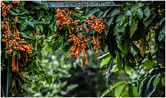 """In dreams we enter a world that is entirely our own.""- JK Rowling (Ramalakshmi Rajan) Tags: quotes garden inmygarden nikond750 nikon nikkor24120mm flowers orange green flamevine"