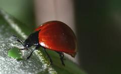 Coleoptera (robertoguerra10) Tags: beattle red black vermelho preto wildlife natureza nature besouro inseto bug joaninha grande gigante nordesste brazil brasil