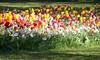 01-IMG_8771 (hemingwayfoto) Tags: blühen blüte blume farben gartenblume narcissen natur park pflanze rethen tulpe weis