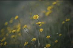 en aquella tarde clara... (jotaaguilera) Tags: nikon d610 nikkor 105mmf2ddc dof bokeh light luz flower flor yellow amarillo primavera spring