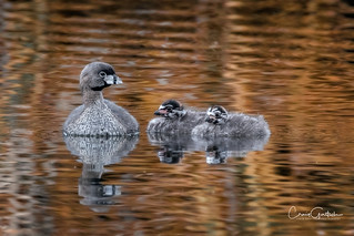 Pied-billed Grebe with Grebettes
