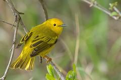 Paruline Jaune / Yellow Warbler (ALLAN .JR) Tags: bird oiseau paruline jaune yellowwarbler nature wildlife ilestbernard nikon spring eye hank you very much