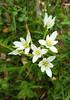 (Iggy Y) Tags: allium ursinum spring blossom flowers white color flower green leav grass medvjeđi divlji luk ramsons day light medvjeđiluk divljiluk