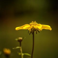 (donna leitch) Tags: yellow flower jaune fleur nature spring 100mm macro explore